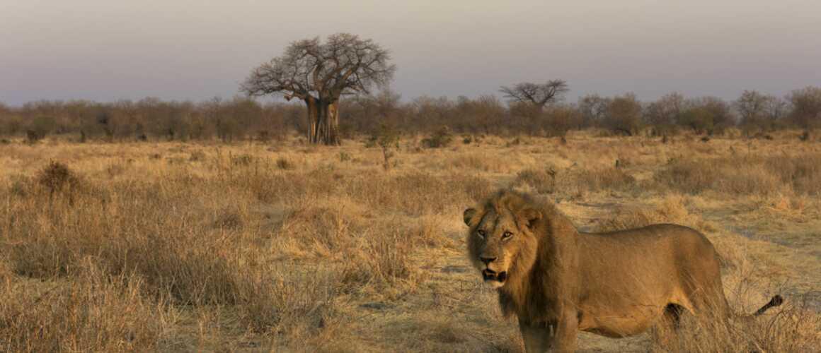 La loi du lion arte quand le roi des animaux se - Animaux du roi lion ...